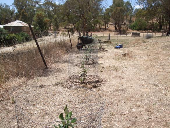 Mass Feijoa Planting