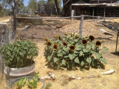 Now Are Sunflowers (Sheltering Lettuces)