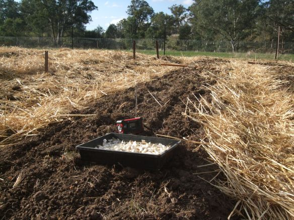 Planting the Hollingsworth White