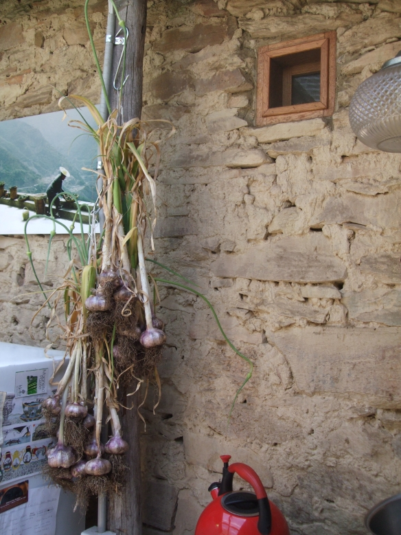 Early Harvested Garlic Hanging